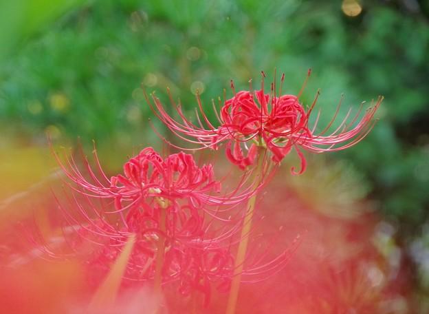 庭に咲く曼珠沙華