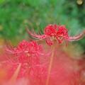 写真: 庭に咲く曼珠沙華