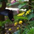 写真: 庭に来たナガサキアゲハ オス