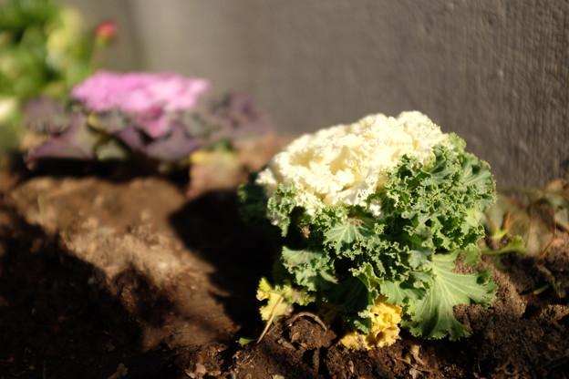花キャベツ