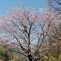 ダム湖の桜