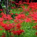 英勝寺の彼岸花 #湘南 #鎌倉 #kamakura #寺 #花 #flower #彼岸花