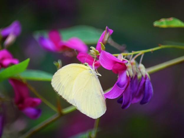 萩と紋黄蝶@英勝寺 #湘南 #鎌倉 #kamakura #寺 #花 #flower #蝶 #butterfly
