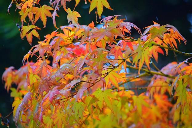 長谷寺の紅葉 #湘南 #鎌倉 #kamakura #寺 #花 #紅葉