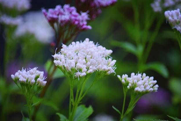 藤袴@長谷寺 #湘南 #鎌倉 #kamakura #寺 #花 #flower