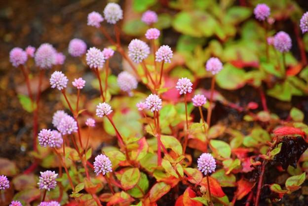 姫蔓蕎麦@長谷寺 #湘南 #鎌倉 #kamakura #寺 #花 #flower