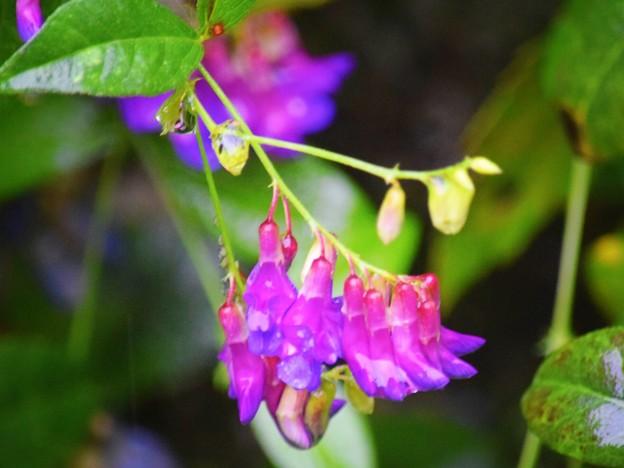 浄智寺の萩 #鎌倉 #kamakura #寺 #temple #花 #flower