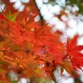 色づく明月院の紅葉 #湘南 #鎌倉 #kamakura #寺 #temple #紅葉