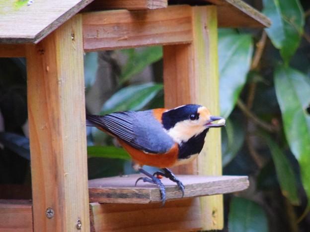 写真: 明月院のヤマガラ #湘南 #鎌倉 #kamakura #寺 #temple #鳥 #bird #animal