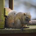 写真: 明月院のタイワンリス #湘南 #鎌倉 #kamakura #寺 #temple #リス #animal #squirrel
