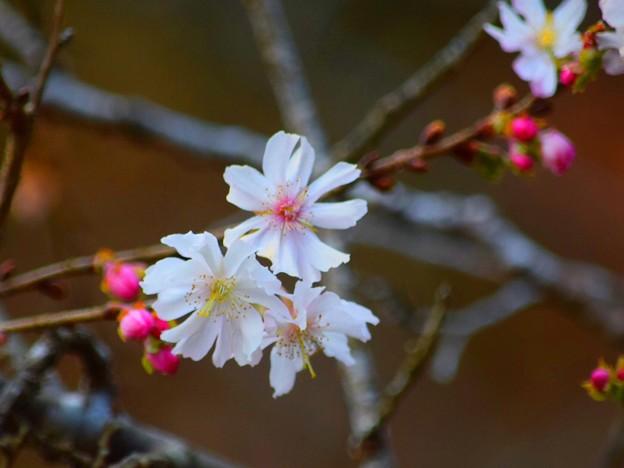 十月桜@円覚寺 #鎌倉 #kamakura #北鎌倉 #寺 #temple #桜 #花 #flower #cherryblossam