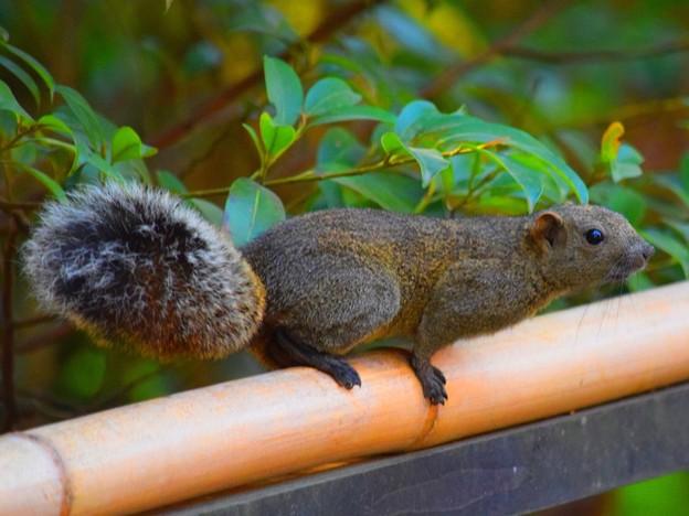 鶴岡八幡宮のタイワンリス #湘南 #鎌倉 #kamakura #japan #mysky #神社 #shrine #animal #squirrel