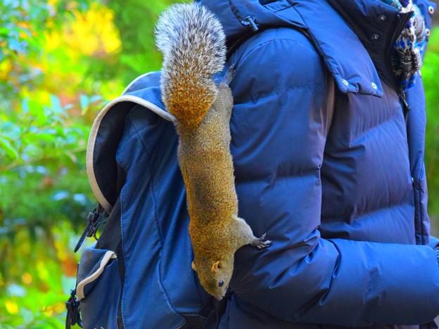 人に飛び移るタイワンリス@鶴岡八幡宮 #湘南 #鎌倉 #kamakura #japan #mysky #神社 #shrine #squirrel