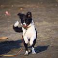 敬礼!お散歩ワンコ@湘南・鵠沼海岸 #湘南 #藤沢 #海 #波 #wave #surfing #mysky #dog #犬 #animal