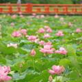 写真: 高田城の蓮