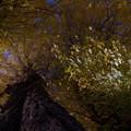 写真: 銀杏黄葉(いちょうもみぢ).......