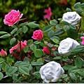 写真: 紅白の薔薇