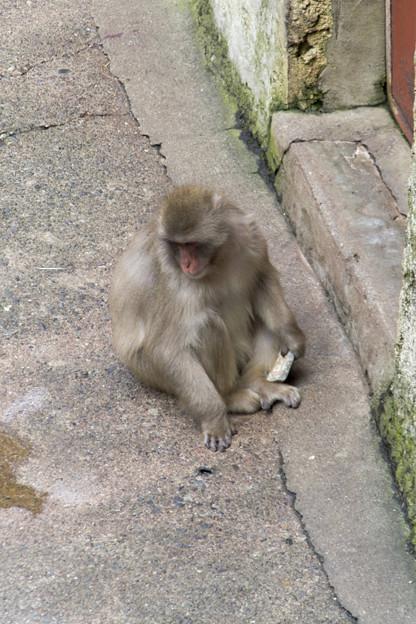 ニホンザル [多摩動物公園]