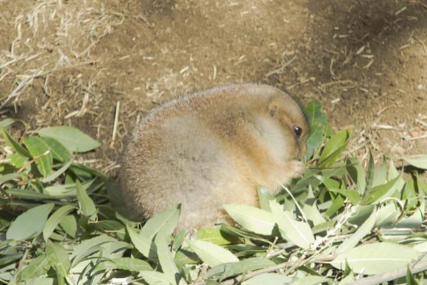 オグロプレーリードッグ [羽村市動物公園]