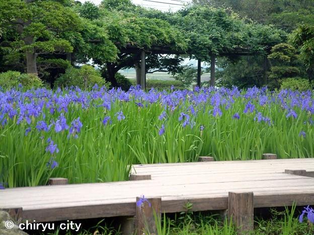 八橋かきつばた(4)