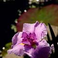 紅紫彩の光