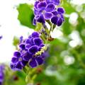 藍紫の花びら