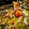 写真: 柿色からの朝