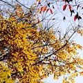 写真: 冬空の黄葉