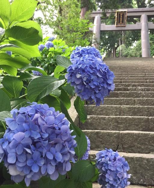 伊豆山神社の紫陽花