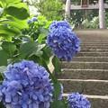 写真: 伊豆山神社の紫陽花
