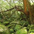 写真: もののけ姫の森