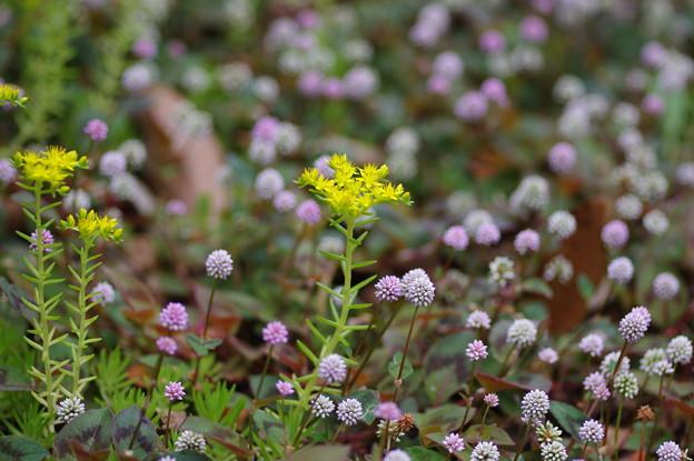 写真: 苔の花