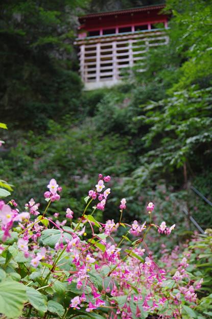 写真: 出流山 秋海棠