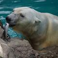 写真: 白熊