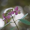 写真: 秋の紫陽花
