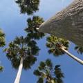 写真: ヤシの木