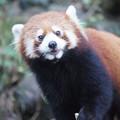 写真: レッサーパンダ