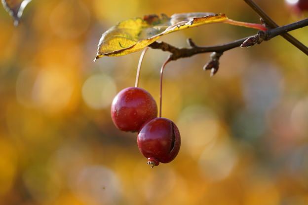 写真: ヒメリンゴ