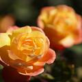 写真: アンネのバラ