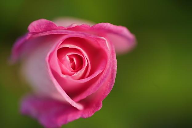 写真: ピンクアイスバーグ