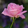 写真: ピンクのバラ