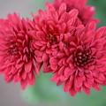 写真: 赤い菊
