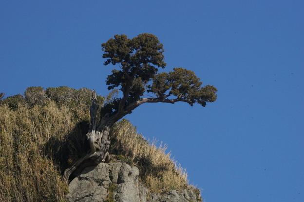 写真: 断崖の松