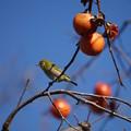 写真: 柿と目白