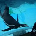 写真: フンボルトペンギン
