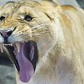 写真: 欠伸するライオン