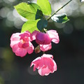 写真: 輝く薔薇