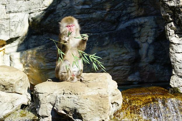 写真: 日本猿