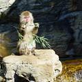 Photos: 日本猿