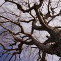 写真: 冬の木